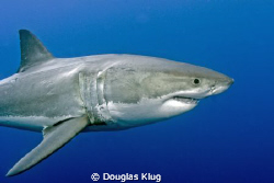 Perfect Form. A Great White Shark displaying its evolutio... by Douglas Klug