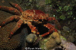 crab, night dive Canon t2i, Tokina 10-17mm by Ryan Ware