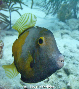 White Spotted file fish with crumbs on his face! by Lisa Hinderlider