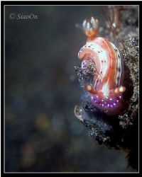 nudi. Off centre shot. Taken with c5060z, fl20. by Han Peng Lim