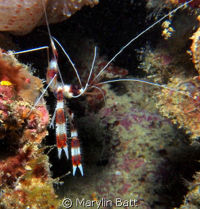 This Banded Shrimp came out from under his rock and posed... by Marylin Batt