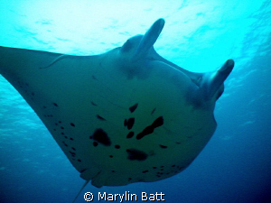 Manta soaring over Tubbataha Reef by Marylin Batt