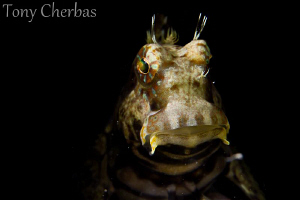 The only shot I could get before this Blenny swam into th... by Tony Cherbas