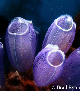 Blue Bell Tunicate (Clavelina puerto-secensi) lit with a ... by Brad Ryon