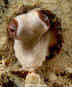 ..is it safe to come out yet? Baby octopus coming out of... by Suzan Meldonian