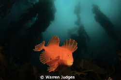 Red velvet Fish. Fortesque Bay Tasmania Australia by Warren Judges