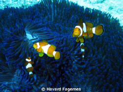 clown fish family by Havard Fagernes