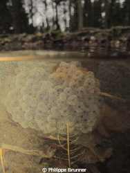 Frog's eggs in a very small lake near to Nyon in Switzerland by Philippe Brunner