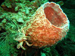 Crab, Roatan, Honduras. Olympus 5060 by Marc Burton