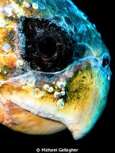 Old man loggerhead, Byron Bay, Australia by Michael Gallagher