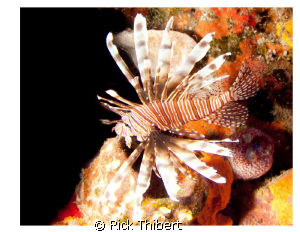 Lion Fish by Rick Thibert