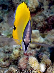 Lauwiliwilinukunukuoioi -  Hawaiian for Long Nose Butterf... by Stuart Ganz