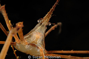 Arrow crab studying his own reflection. by Suzan Meldonian