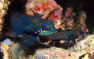 Mating Manderine fish by Marylin Batt