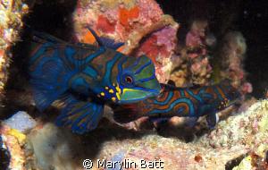 Mating Manderine fish by Marylin Batt
