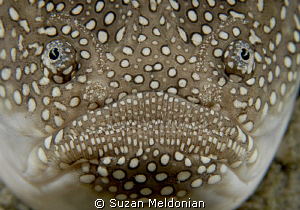 "Southern Stargazer. You can see the electrogenic ""eyebrows"". by Suzan Meldonian"