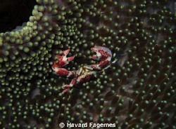 crab raja ampat by Havard Fagernes