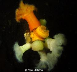 plumose anemones on wreckage, Loch Long, Scotland by Tom Ashton