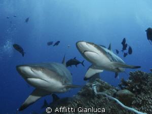 Grey sharks by Afflitti Gianluca