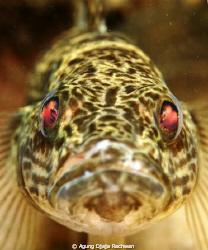 I found this fish when Diving at Matano Lake, Sorowako at... by Agung Djaja Rachwan