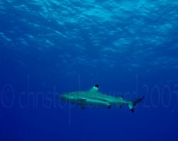 Bora Bora, French Polynesia. Blacktip sharks circle as we... by Christopher Ward