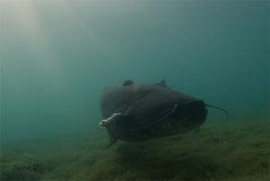 Wels catfish.. by Sven Tramaux