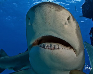 Lemon Shark at Ginormous Reef noses up for a good look. G... by Steven Anderson