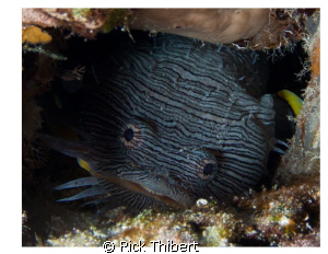Splendid Toadfish showing its teeth by Rick Thibert