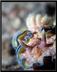 glossodoris cincta. Off center close up. Taken with c5060... by Han Peng Lim