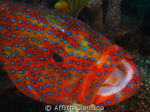 coral grouper by Afflitti Gianluca