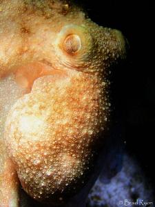 Caribbean Reef Octopus (Octopus briareus): I shot this at... by Brad Ryon