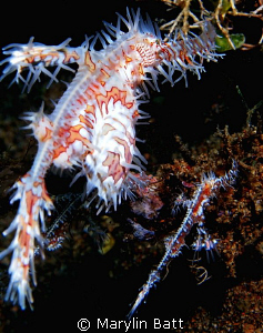 Pair of Ornate Ghost Pipefish by Marylin Batt