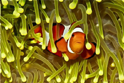 cute clownfish in a unique anemone by Doris Vierkoetter