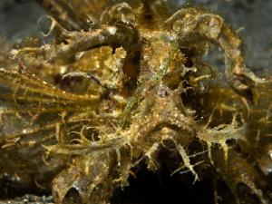Pteroidichthys amboinensis (Ambon scorpionfish) by Alex Varani