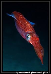 A very fast squid (Loligo vulgaris). by Ferdinando Meli
