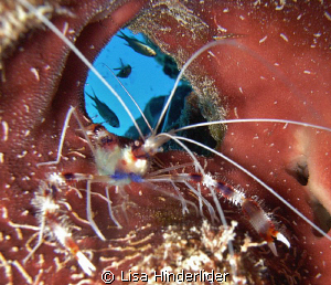 Coral Banded shrimp who has a room with a view! by Lisa Hinderlider