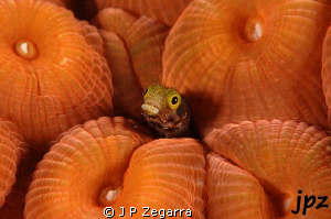 blenny haggin by a very plump Montastrea coral... by J P Zegarra