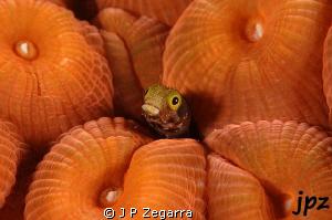 blenny haggin by a very plump Montastrea coral... by J P Zegarra