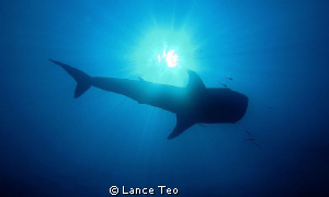 silhouette of whale shark by Lance Teo