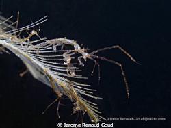 Skeleton shrimp in cafe garam, Amed, Bali by Jerome Renaud-Goud