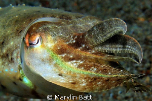 Iwas lucky to get very close to this small cuttlefish by Marylin Batt