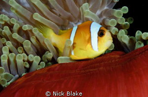 Anemone fish, Red Sea South by Nick Blake