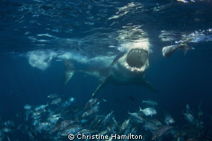What Big Teeth You Have ! by Christine Hamilton