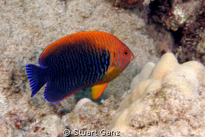 Potters Anglefish. Fairly common on the Hawaiian reef alt... by Stuart Ganz