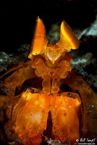 Spearing Mantis Shrimp by Bill Lamp'l