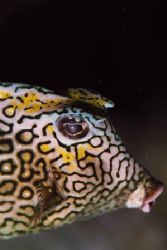 Honeycomb Cowfish. Bonaire. by Jacques Miller