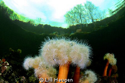 """Underworld"" - frilled anemone (Metridium senile) in the ... by Lill Haugen"