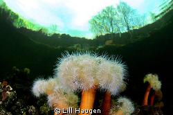 """Underworld"" - frilled anemone (Metridium senile) in the ... by Lill Haugen"