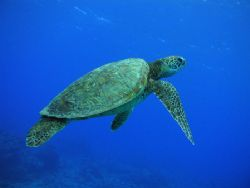 Rarotongan Turtle - taken freediving outside Trader Jacks... by Quentin Long