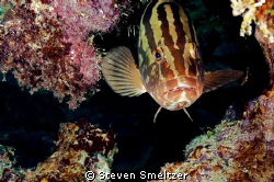 Nassau Grouper on Andes Wall in Grand Cayman by Steven Smeltzer